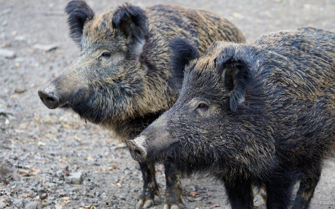 Afrikanische Schweinepest bei Wildschwein in Spree-Neiße festgestellt